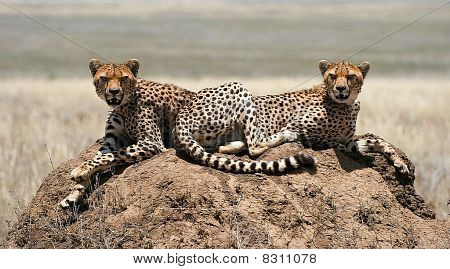 2 cheetahs