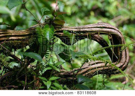 Costa Rican Anaconda Vine