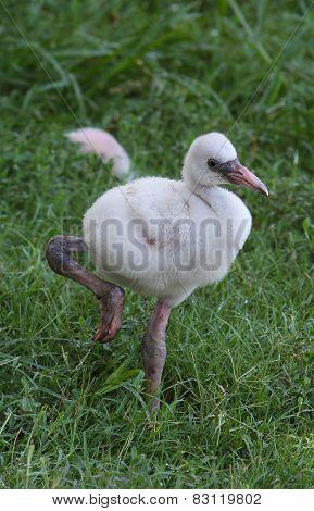 Baby Flamingo II