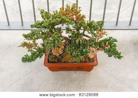 Old Bonsai Tree Growing