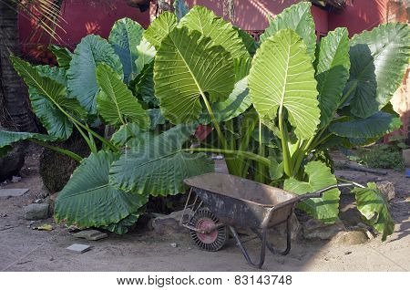 Edible Plant -  Elephant Ears