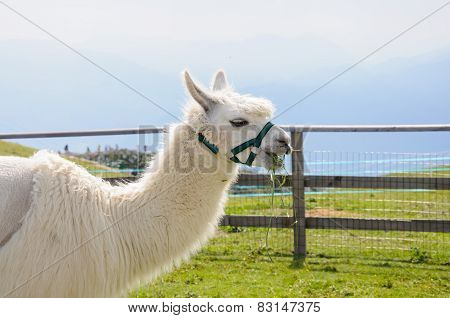 White Alpaca Eating