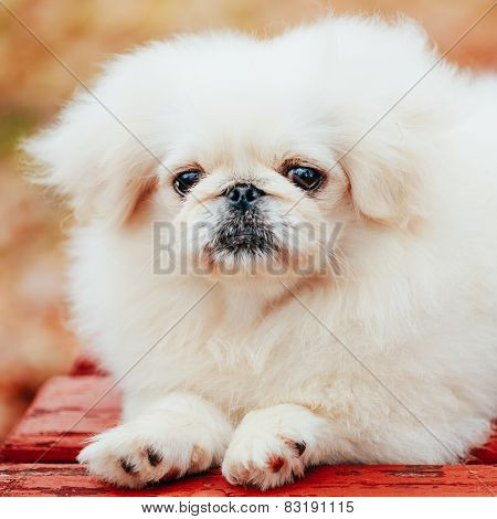 White Pekingese Pekinese Peke Whelp Puppy Dog Sitting On Wooden