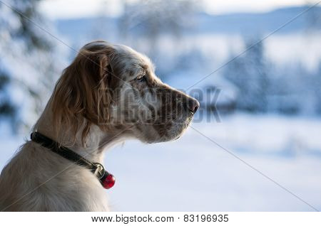 English setter in profile with winter background