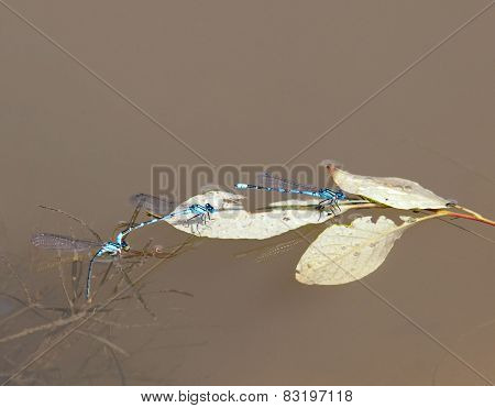 Blue Damselflies
