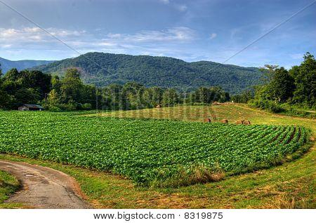 Virginia Tobacco Field