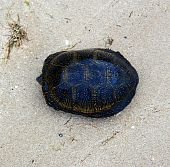 Yellow spotted turtle laying on the beach poster