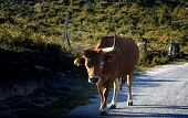 cow in the road poster