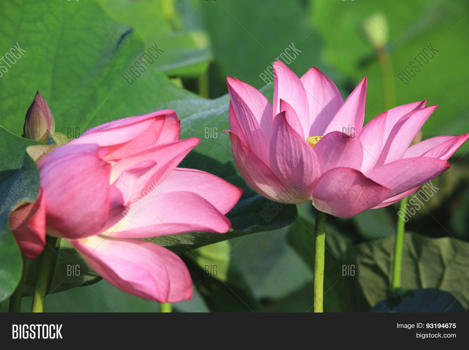 Lotus flowers bud image photo free trial bigstock lotus flowers and bud izmirmasajfo