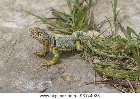 collared lizard on stone, Kansas