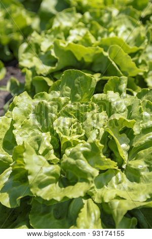 Fresh Green Lettuce
