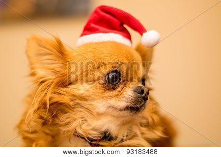Long Haired Chihuahua At Christmas