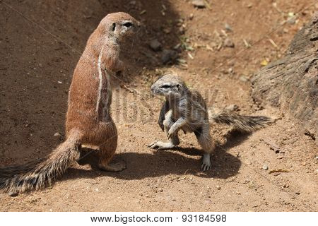Two Cape ground squirrels (Xerus inauris). Wildlife animals.