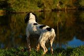 english springer spaniel standing by the river after having a swim. poster