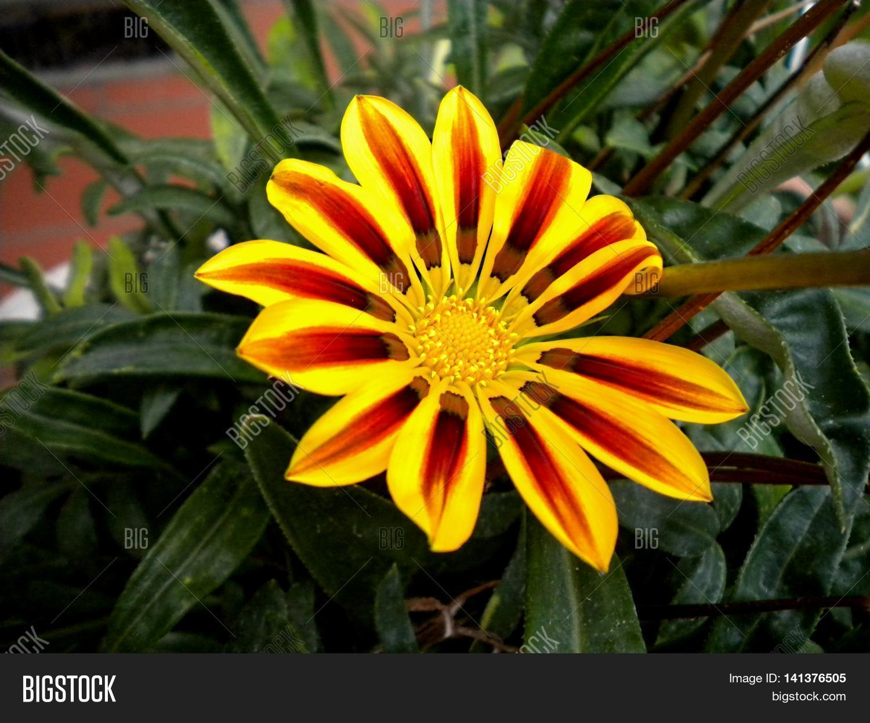 Fiori Gialli E Arancioni.Fiore Giallo Con Image Photo Free Trial Bigstock