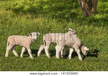 closeup of lambs grazing on spring meadow