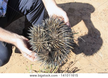 a person holding and spiky Australian echidna