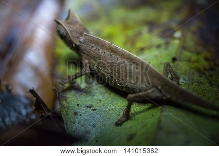 Close up shot of the nocturnal chameleon on the green leaf in a forest. Focus on the body. Madagascar