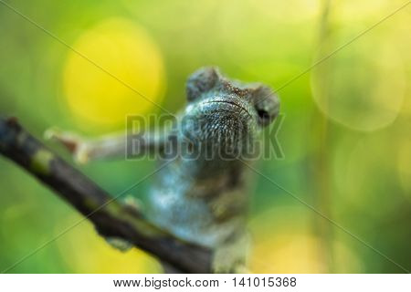 Close up shot of the chameleon on the wooden branch. Focus on the head. Madagascar