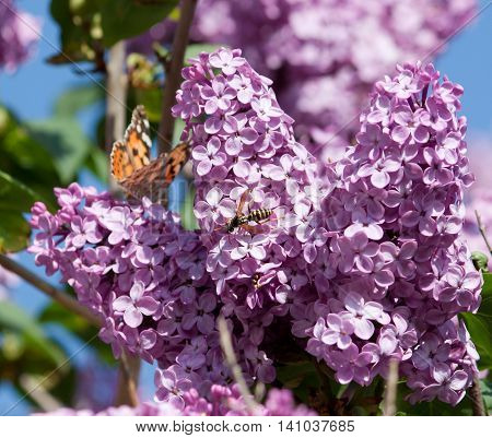 Vanessa cardui is a well-known colourful butterfly, known as the painted lady, or in North America as the cosmopolitan