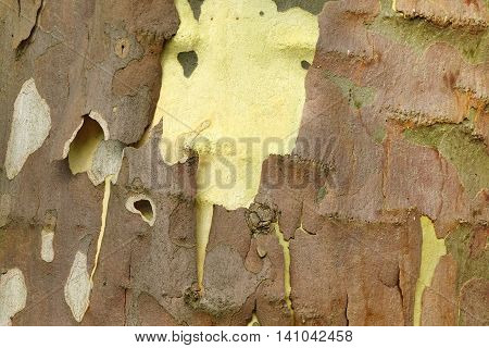 Mottled Sycamore Tree Bark And Trunk Background Or Texture