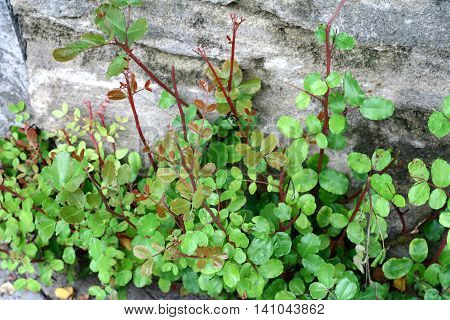 Green and purple twigs with little leaves on stone background