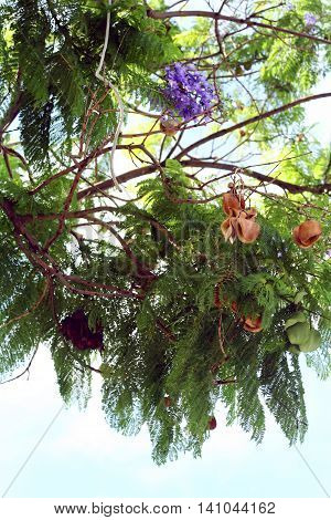 Jacaranda mimosifolia branches with flowers and fruits in sky background