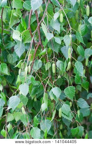 Betula pendula, commonly known as silver birch or warty birch, green leaves background