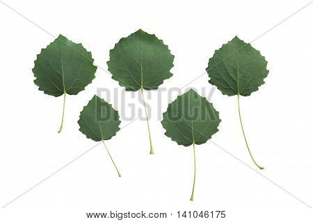 Aspen (Populus tremula) leaves isolated on white background