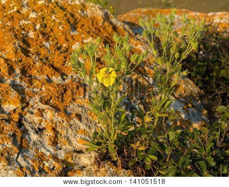 Potentilla recta or sulphur cinquefoil. Beautiful and rich nature of the Crimea.