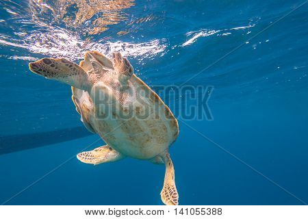 Close up of green turtle, Chelonia mydas, swimming in blue water. Similan Islands, Thailand, Andaman Sea.