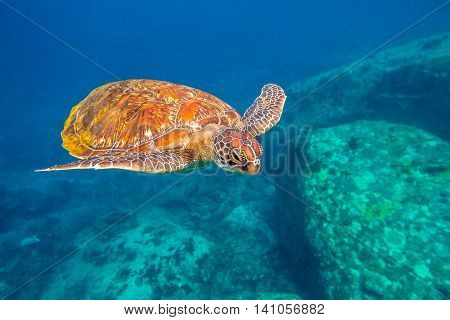 Green turtle, Chelonia mydas, swimming in blue water at the Similan Islands in Thailand, Andaman Sea.