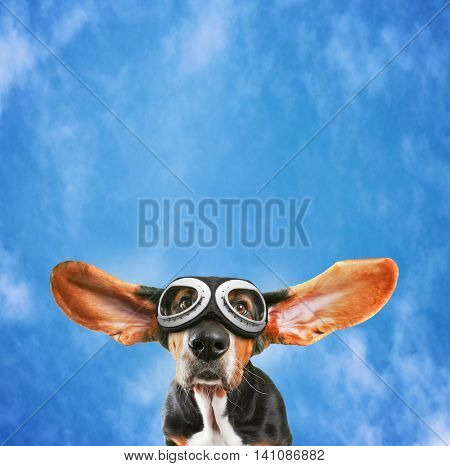 a basset hound wearing pilot goggles with his ears flying away like a plane on a pretty blue cloudy sky