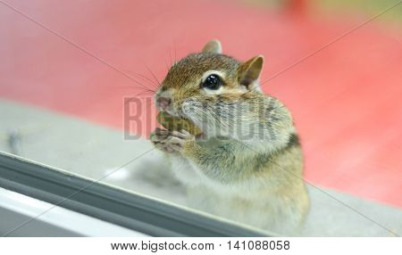 Gathering peanuts, a curious Eastern chipmunk eats peanuts while peering through the window from outside. poster