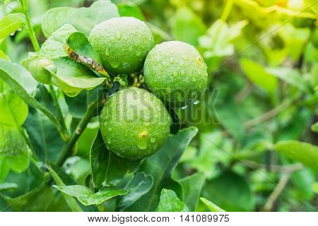 green Lemon on branch tree in a rainy day