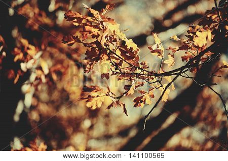 Oak branches in autumn with faded leaves. Golden autumn.
