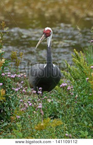 White-naped crane (Grus vipio) standing in vegetation in its habitat