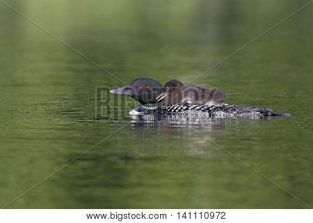 Common Loon Chick Riding On Parent's Back