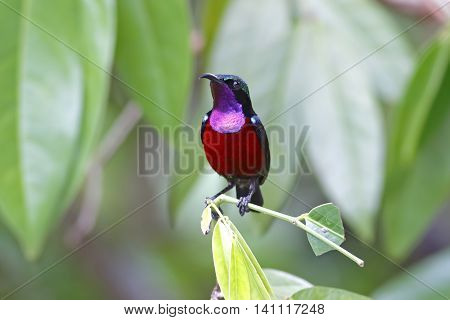 Van Hasselt's sunbird Leptocoma brasiliana Male Birds of Thailand