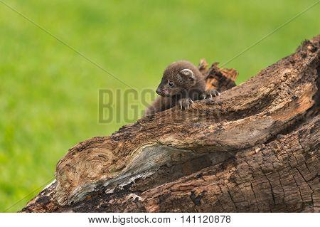 Fisher (Martes pennanti) Kit Holds Onto Log - captive animal