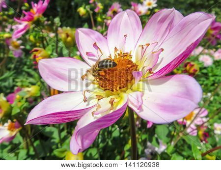 Close-up of a honey bee on a pink flower in a garden