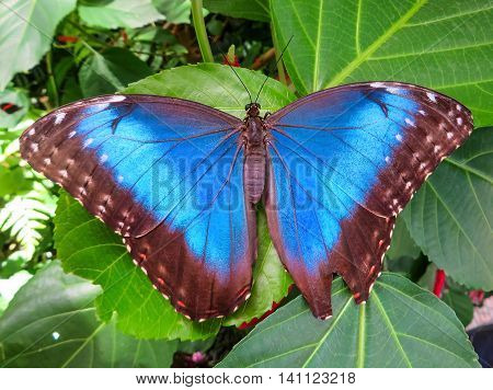 Large blue butterfly on a leaf in a garden