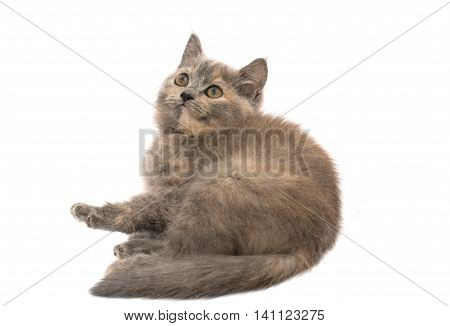 gray kitten animals on a white background