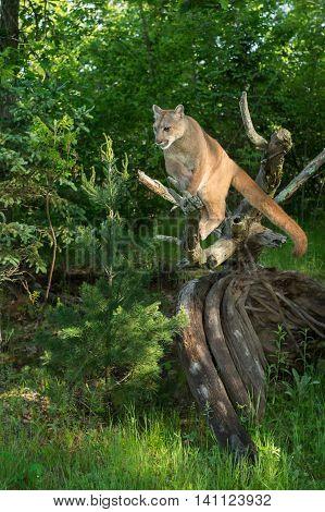 Adult Female Cougar (Puma concolor) Balances on Log - captive animal