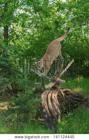 Adult Female Cougar (Puma concolor) Prepares to Jump - captive animal