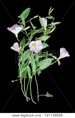 Medicinal plant field bindweed (Convolvulus arvensis) isolated on a black background. Used in herbal medicine honey plant