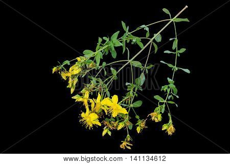 Medicinal plant St. John's wort (Hypericum) isolated on a black background. Actively used in herbal medicine excellent bee plant