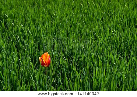 Lonely tulip in a field of green grass in the early summer