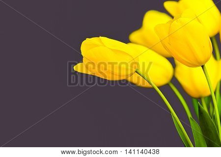 Yellow bundle of tulips in front of a grey background