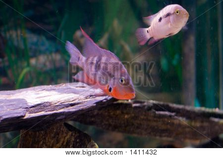 Fire Mouth and Jack Dempsey South American Cichlids in Freshwater Aquarium poster